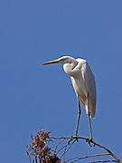 Great Egret (Casmerodius albus or Ardea alba) hulla valley, Israel