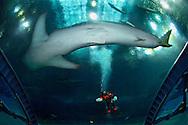"JPN, Japan: Okinawa Churaumi Aquarium, Walhai (Rhincodon typus) groesster Fisch der Welt,  im ""Aqua room"",  schwimmt direkt über einer Taucherin die gerade die Scheibe putzt, Ocean Expa Park, Okinawa, Okinawa | JPN, Japan: Okinawa Churaumi Aquarium, Whale Shark (Rhincodon typus) largest fish of the world in the ""Aqua room"", swimming directly above female diver who is cleaning the pane, Ocean Expo Park, Okinawa, Okinawa |"
