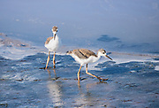 Immature Black-necked Stilts foraging along the waters edge under the parents watchful eye.  Bombay Hook NWR, Delaware