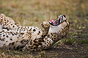 A male cheetah ( Acinonyx jubatus ) waking up from a nap and yawning, Masai Mara, Kenya