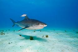 Tiger Shark, Galeocerdo cuvier, accompanied by lone Blue Runner jack, Caranx crysos, West End, Grand Bahama, Bahamas, Caribbean, Atlantic Ocean
