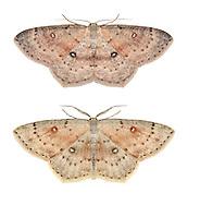 70.032 (1677)<br /> Birch Mocha - Cyclophora albipunctata