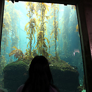 A visitor observes fish and kelp at the Monterey Bay Aquarium, which is located on Cannery Row in Monterey, California, on Friday July 13, 2012.(AP Photo/Alex Menendez)