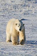 01874-12413 Polar bear (Ursus maritimus) walking in winter, Churchill Wildlife Management Area, Churchill, MB Canada