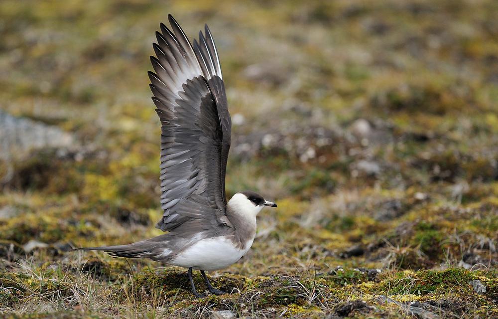 Arctic skua, stercorarius arcticus, Svalbard Norway