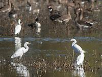 Snowy Egrets, Egretta thula, at Colusa National Wildlife Refuge, California