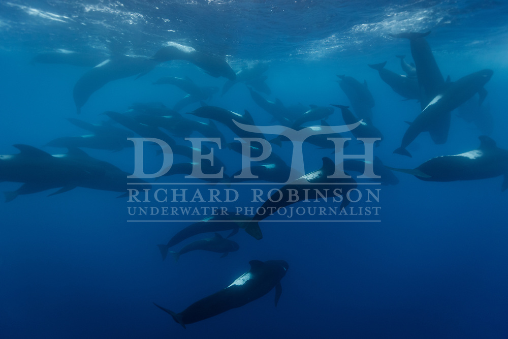 A pod of Globicephala melas (Long-finned pilot whale) in the South Pacific Ocean.<br /> 24 March 2018<br /> Photograph Richard Robinson © 2018