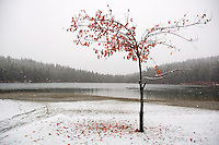 A lone maple tree drops it's leaves on the first day of snow in Whistler BC.