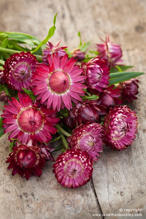 Helichrysum bracteatum 'Giant Crimson'. Everlasting flower, Strawflower