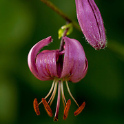 Martagon Lily against green background