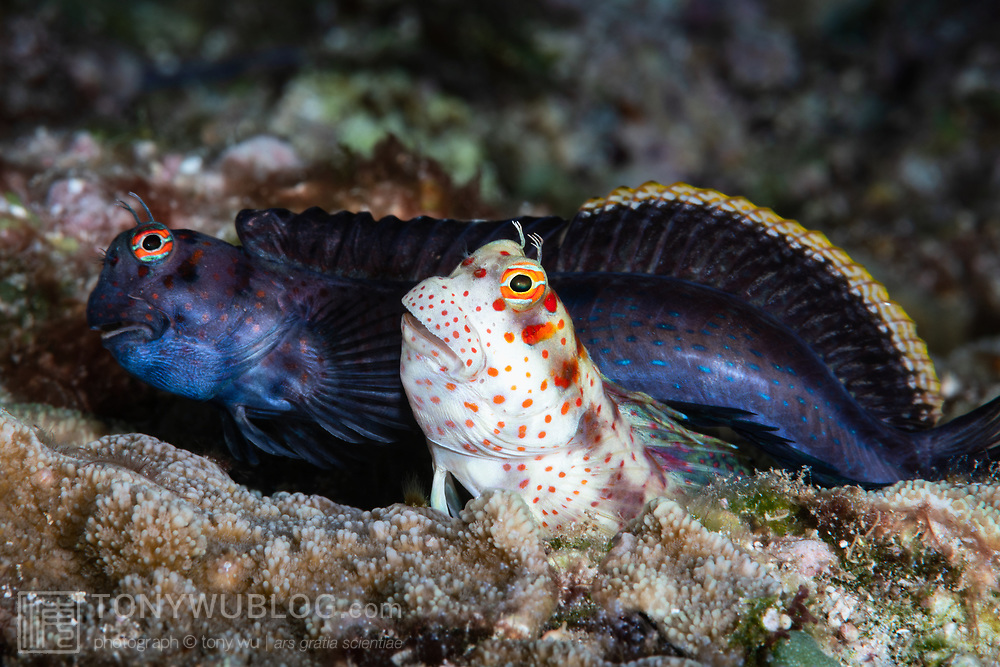 Pictured here is a pair of red-spotted blennies (Blenniella chrysospilos) that have just finished spawning. After attracting the female (foreground) to his burrow, the male moves to another hole while the female deposits eggs. He visits multiple times to fertilize while she does this. This is the spit-second just before the female departs and the male takes over to brood the eggs. The male's dark hue is breeding coloration.