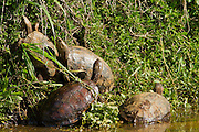 Caspian turtle or Striped-neck terrapin (Mauremys caspica). is a medium-sized semi-aquatic turtle, which is found from from the eastern Mediterranean through Turkey, Bulgaria and central Iran to Saudi Arabia, Bahrain and Israel, and across the Ionian Peninsula to former Yugoslavia. Photographed in Israel, in March