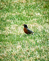 American Robin. Image taken with a Nikon D800 camera and 80-400 mm VR lens.