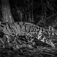 The clouded leopard (Neofelis nebulosa) is a wild cat occurring from the Himalayan foothills through mainland Southeast Asia into China.