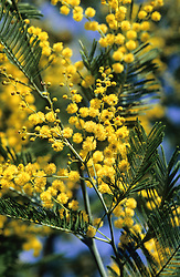 Acacia dealbata - Mimosa