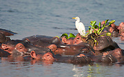 Hippo with Cattle Egret and Water Hyasints in Albert Nile, Uganda.