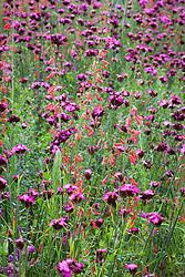Penstemon barbatus 'Coccineus' with Dianthus carthusianorum in Tom Stuart-Smith's prairie meadow