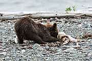 A Brown bear cub plays with a driftwood log on the beach at the McNeil River State Game Sanctuary on the Kenai Peninsula, Alaska. The remote site is accessed only with a special permit and is the world's largest seasonal population of brown bears in their natural environment.