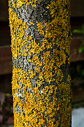 Orange Lichen on a tree trunk