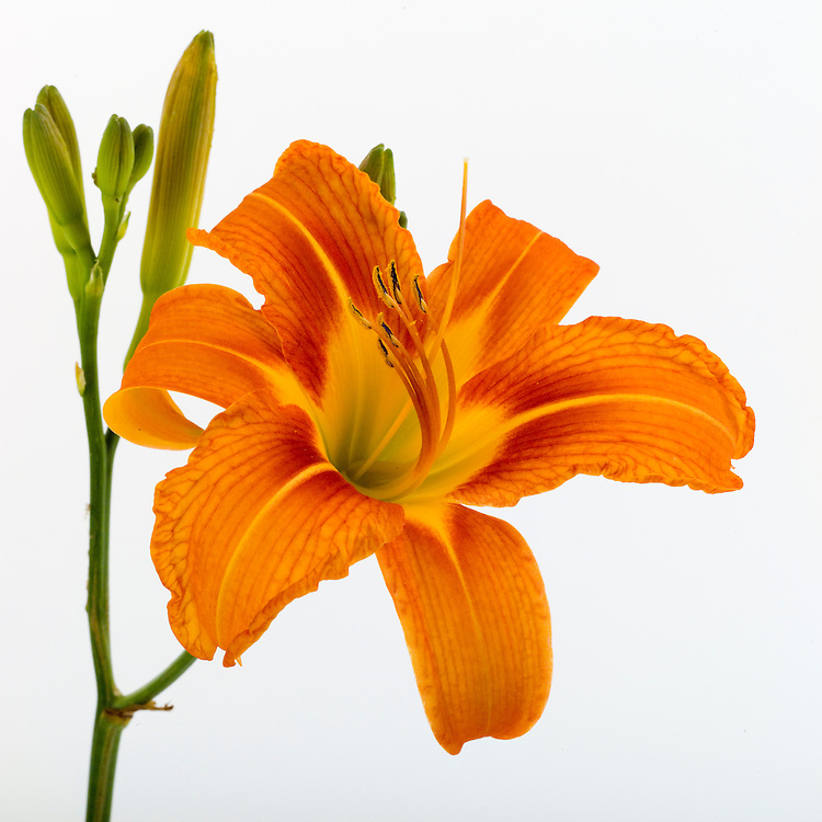 Reproductive parts of a lily for pollenation:  stamen, pistil