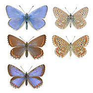 Common Blue - Polyommatus icarus - male (top row) - female (middle and bottom row). Wingspan 32mm. Britain's commonest and most widespread blue butterfly. Adult male has blue upperwings; female's are usually brown (sometimes tinged blue in the middle) with submarginal orange spots. Underwings of both sexes are grey-brown with white-ringed dark spots and orange submarginal spots on hindwing. Flies April–September in two or three successive broods. Larva feeds on Bird's-foot Trefoil and related plants. Common in grassy places where larval foodplant grows.