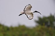 Black-headed ibis, Threskiornis melanocephalus, also known as the Oriental white ibis, Indian white ibis, and black-necked ibis. Tainan, Taiwan.