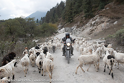 Kelly Modlin cuts through a herd of sheep on the road on day-5  of our Himalayan Heroes adventure riding from Kalopani through the Mustang District to our highest elevation of the trip at over 12,000' when we reached Muktinath, Nepal. Saturday, November 10, 2018. Photography ©2018 Michael Lichter.