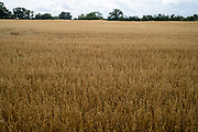Field of ripening oats on 1st August in Hanbury, United Kingdom. The oat, sometimes called the common oat, is a species of cereal grain grown for its seed, which is known by the same name. While oats are suitable for human consumption as oatmeal and rolled oats.