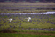 Swans fly past migrating Pink-Footed geese over-wintering near Holkham, North Norfolk, East Anglia, England