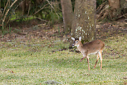 A deer with a missing front leg looks for food in a residents property on Fripp Island, SC.