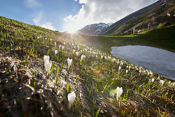 Crocus in full bloom on green landscape, Otztal, Austria