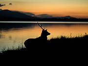 A male Sika Stag shows the signs of battle with only one antler as he forages for food at sunset by Lough Leane, Killarney on Monday evening. The annual 'rutting' season is well under way in Killarney National park.<br /> Photo: Don MacMonagle