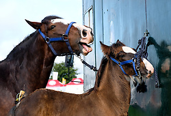 © Licensed to London News Pictures.26/08/15<br /> Egton, UK. <br /> <br /> A horse and her fowl are tethered to a horsebox at the 126th Egton Show in North Yorkshire. <br /> <br /> Egton is one of the largest village shows in the country and is run by a band of voluntary helpers. <br /> <br /> This year the event featured wrought iron and farrier displays, a farmers market, plus horse, cattle, sheep, goat, ferret, fur and feather classes. There was also bee keeping, produce and handicrafts on display.<br /> <br /> Photo credit : Ian Forsyth/LNP