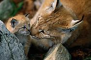 Eurasian Lynx female and kitten, Lynx lynx, captive, Langedrag, Norway