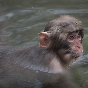 Snow Monkey, baby having a blast swimming in the warm waters of a hot pool, Jigokudani Monkey Park in Japan.