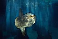 PRT, Portugal: Oceanario de Lisboa, das zweitgroesste seiner Art weltweit, Mondfisch (Mola mola), der groesste Knochenfisch der Welt, Lissabon, Lissabon | PRT, Portugal: Oceanario de Lisboa, the second largest world wide, Ocean sunfish (Mola mola), is the largest bony fish in the world, Lisbon, Lisbon |