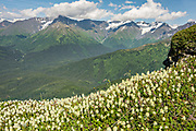 Wildflowers in Chugach Mountains on Mt. Alyeska in Girdwood, Alaska.