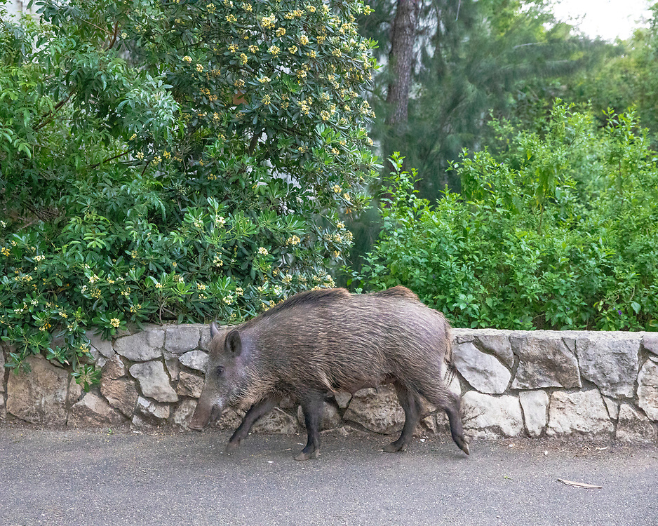 A wild boar roams the streets of Haifa, Israel, April 09, 2021. Several neighborhoods in the northern Israeli city are being visited by families of wild boars. Many of the animals felt safer to come out of the Carmel woods surrounding the city in search for food, as most people were confined to their homes due to covid-19 lockdowns. As Israel slowly returned to normal life, following a large scale vaccination operation, human and animal encounters became more and more common.