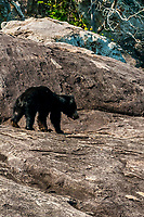 Sri Lanka Sloth Bear, Yala National Park, Southern Province, Sri Lanka.