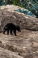 Sri Lanka Sloth Bear, Yala National Park, Southern Province, Sri Lanka.