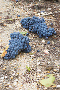 Sand. Green harvested grapes dumped on the ground. Cabernet Sauvignon. Chateau Liversan, Domaines Lapalu, Haut Medoc, Bordeaux, France