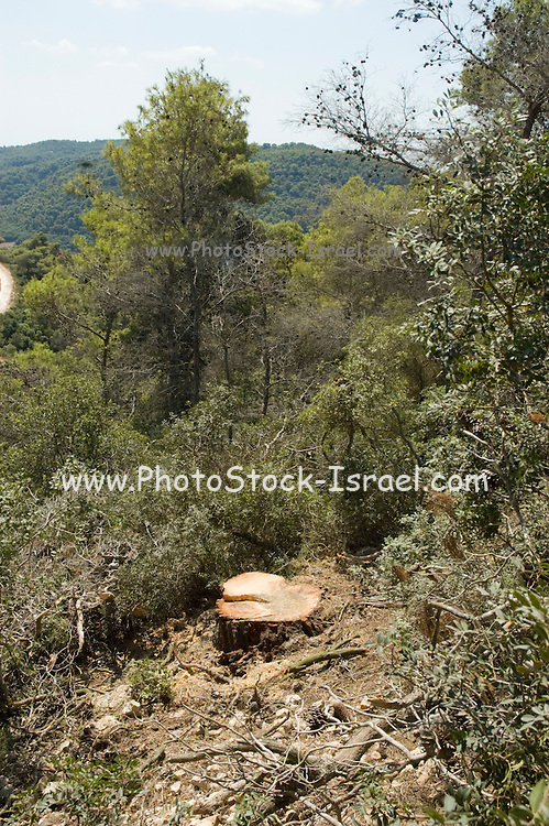 Israel, Golan Heights, Foresters working in a natural forest, cutting down trees to thin out the forest A tree stub remains in the ground after cutting down the tree