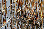 Moorhen (Gallinula chloropus) pulling up reeds in the water on Noah's Lake, part of the Shapwick Heath National Nature Reserve.