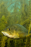 Largemouth Bass in thick plant cover<br /> <br /> Engbretson Underwater Photography