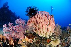 Xestospongia testudinaria, Dendronephthya sp., Korallenriff mit Tonnenschwamm, Weichkorallen und Taucher, barrel sponge and colorful coral reef and scuba diver, Bali, Indonesien, Indopazifik, Bali, Indonesia Asien, Indo-Pacific Ocean, Asia