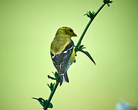 American Goldfinch. Image taken with a Nikon D5 camera and 600 mm f/4 VR lens