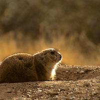 North America, Americas, USA, United States, Arizona. Arizona-Sonora Desert Museum. Black-tailed Prairie Dog resting near burrow.