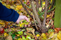 Removing old fallen rose leaves from around the crown to prevent disease