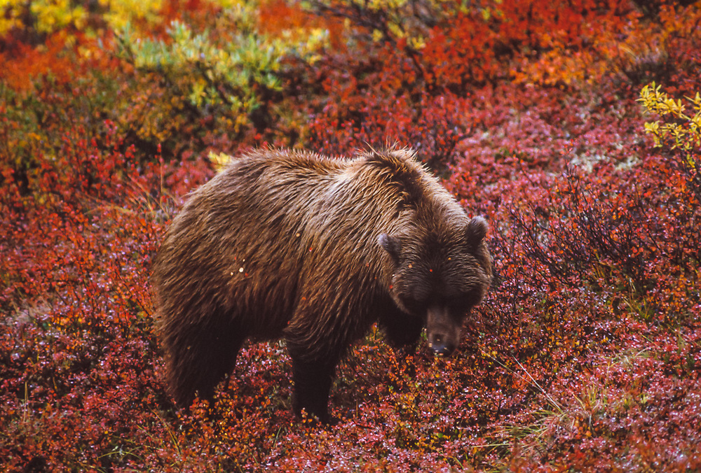 Grizzly bear sow (Ursus arctos horribilis), Alaska, USA