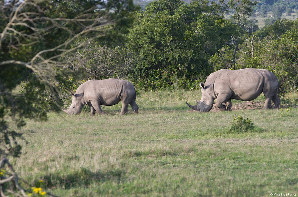 Rhinos can't see very well but they have a powerful sense of smell and will charge if they feel threatened.  1/160 sec at f7.1, ISO 200, focal length 160